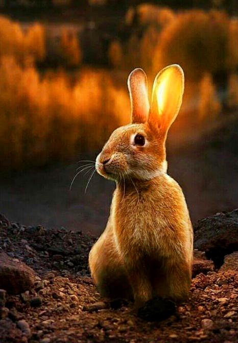 Картина по номерам 40x50 Пушистый кролик и заходящее солнце
